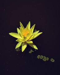 Water lily (Sougata2013) Tags: flower macro nature water beauty pond nikon waterlily lily mandi nikond3200 kamand himachalpradseh