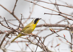_53F8191 Common Yellowthroat (~ Michaela Sagatova ~) Tags: dundas commonyellowthroat geothlypistrichas woodwarbler birdphotography dvca michaelasagatova spring2014