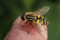 Hoverfly Helophilus pendulus on my finger #1 (Lord V) Tags: macro bug insect finger hoverfly