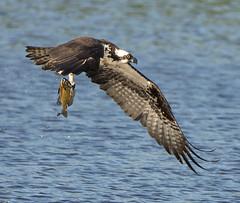 Snached! 2 (pheαnix) Tags: fish bird fishing nikon ngc flight npc delaware newark osprey bif 80400mm beckspond d800e