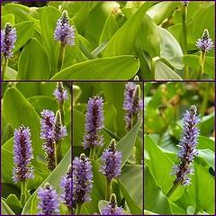 Beautiful wetland plant (MissyPenny) Tags: park plants pennsylvania silverlake vegetation marshy pickerelweed wetland wetlandplants southeasternpa buckscountypark