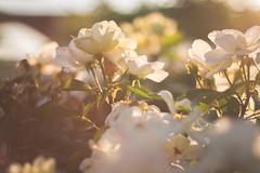 dusk (Senikai) Tags: flowers sunset canon 50mm bokeh dusk georgetown 18 70d