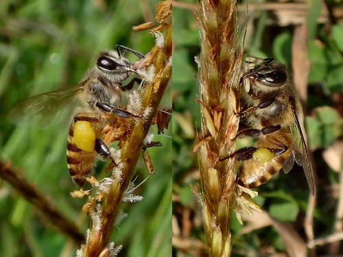 Sweet Choice. Apis cerana, Asian Honeybee, collecting Grass Pollen, Tanjung Mangsit, Lombok, Indonesia