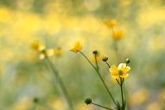 Buttercup /  Butterblume (Mah Nava) Tags: flower yellow buttercup gelb blume  butterblume