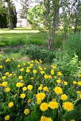 Dandelions (Vegan Butterfly) Tags: park flowers plants green nature grass yellow bc columbia british vernon dandelions girouard