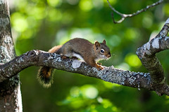 Squirrel (Evan MacPhail Photography) Tags: tree nature yard back backyard squirrel bbq barbecue supper