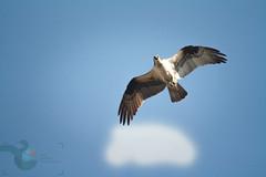 Osprey watch!