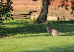 A l'affut (StephanExposE) Tags: lapin rabbit marestsurmatz oise nature campagne france canon 600d 70300mm stephanexpose