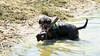 Spinner the swimmer (Kenneth Gerlach) Tags: dachshund hund zealand dackel haslev sjælland sø seeland ✔ gravhund troelstrup ruhåret brunbrownbraun