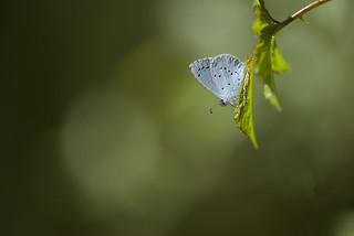 Celastrina argiolus (Holly Blue, boomblauwtje)