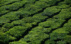 India - Kerala - Munnar - Tea Plantation - 23 (asienman) Tags: india mountains kerala hills teafactory munnar teapicker asienmanphotography teaplantagens