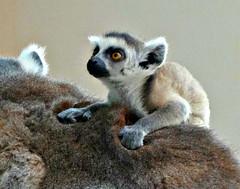 Lemur Junior (Jaedde & Sis) Tags: ringtailed lemur baby juvenile ride back challengefactorywinner unanimous thechallengefactory gamesweepwinner herowinner ultrahero storybookwinner 15challengeswinner beginnerdigitalphotographychallengewinner bdpc