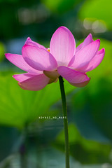 804 (koyagi_no_mari) Tags: flower lotus 200mm 60d