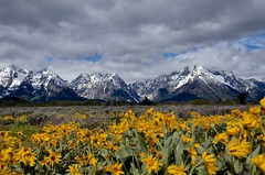 Arrowleaf Balsamroot and the Grand Tetons (Rivers, Lakes, Nature & Architecture) Tags: wind mountains flowers grandtetons arrowleafbalsamroot jmsphotography