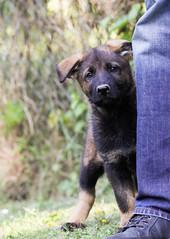 Blöde Kamera *grusel* (blumenbiene) Tags: dog dogs puppy puppies shepherd linie line hund german ddr hunde deutscher welpe schäferhund welpen