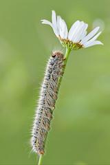 Il Bruco e la Margherita (Opiesse) Tags: macro liguria margherita farfalla bruco aporia crataegi