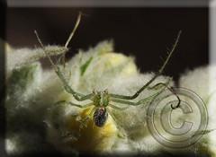 aff. Heriaeus hirtus, en espera de confirmación (Fotografía de Naturaleza de Paco Moreno Gámez) Tags: naturaleza verde fauna andalucía flora blanca araña verbascum fotografía cangrejo arachnidae gordolobo verando