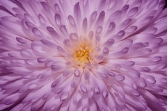 Chrysanthemum (Paul Sibley) Tags: white flower purple photoaday chrysanthemum nikond60 3652014