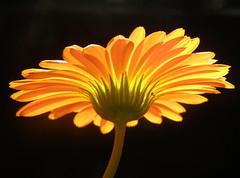 souci (sabine-43) Tags: fleurs