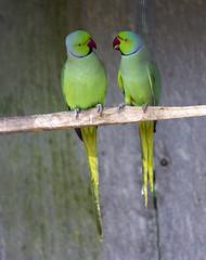 Derbyan Parakeet (Hans van der Boom) Tags: two green bird love portugal animal garden botanical couple europa europe parakeet perched lovebirds pt madeira funchal gamewinner derbyan herowinner