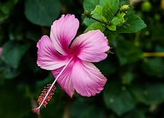 Pretty 'n Pink (Ram_Ramkumar) Tags: flower nature hibiscus pinkflower pinkhibiscus