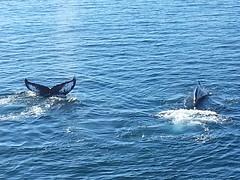 Humpback Whales @Hinlopen, Svalbard (yayomoose) Tags: svalbard whales humpbackwhales 2014 hinlopen