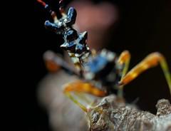 Pseudocreobotra wahlbergii, L3 but still tiny! (_papilio) Tags: macro canon mantis nikon invertebrate papilio mantid arthropod mpe65 wahlbergii pseudocreobotra spinyflowermantis d800e