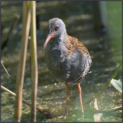 The Elusive Water Rail (image 2 of 2) (Full Moon Images) Tags: bird nature water suffolk wildlife lakes reserve rail trust waterrail lackford