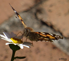 A butterfly in my garden (pat.bluey) Tags: butterfly ngc australia npc newsouthwales blacktown 1001nights mygarden 1001nightsmagiccity