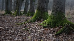 Baumfuß-Ensemble (Explored!) (nordelch61) Tags: mönchbruch naturschutzgebiet wald baum bäume ast äste zweig zweige wurzel wurzeln bemoost urig knorrig tree forest roots root