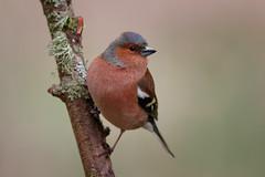 _F0A6937.jpg (Kico Lopez) Tags: fringillacoelebs galicia lugo miño pinzóncomún spain aves birds rio