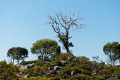 20170302-18-Solitary tree (Roger T Wong) Tags: australia centralplateauconservationarea greatpinetier sel70300g sony70300 sonya7ii sonyalpha7ii sonyfe70300mmf2556goss sonyilce7m2 tasmania wha worldheritagearea bushwalk camp centralhighlands gumtree hike tree trektramp walk