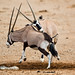Headbutt by Oryx | Namibia