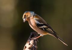 Chaffinch: Fringilla coelebs -M- (renzodionigi) Tags: aves passeriformes fringillidae fringillinae fringilla pinsondesarbres buchfink pinzòncomùn fringuello