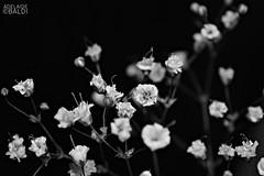Gypsophila in B&W (A.Baldi) Tags: bw macromondays gypsophila macro fiori fiorellini nebbilina biancoenero blackwhite sfocato