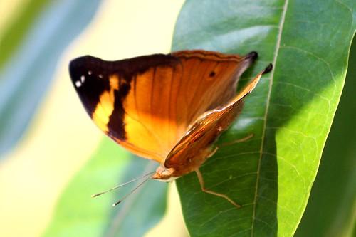 IMG_9522/Thailand/Koh Samui Island/Doleschalia Bisaltide Pratipa/Female