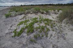 Tetragonia decumbens, Busselton, WA, 31/10/16 (Russell Cumming) Tags: plant weed tetragonia tetragoniadecumbens aizoaceae busselton westernaustralia