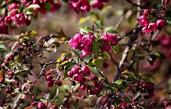 April 2, 2017 - Crabapple tree in bloom. (Michelle Jones)