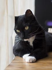 Rocky (lauriepetsitterparis) Tags: chat cute cat petsitter catsitter mignon miaou