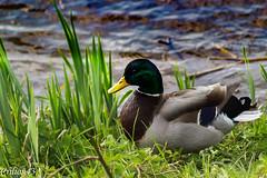 Je me cache... (Crilion43) Tags: auvergne paysage canard oiseaux vichy herbe rivière allier france cane caneton corbeau corneille eau merle pigeon plage