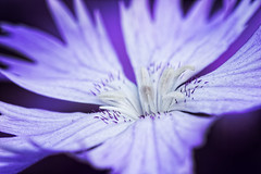 Vilolet Blossom (Jens Flachmann) Tags: flower blossom closeup detail violet nature plant blooming macro