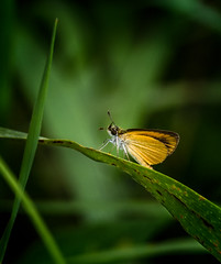 Smidgen (Portraying Life, LLC) Tags: michigan unitedstates skipper butterfly hanheld nativelighting marshgrass closecrop