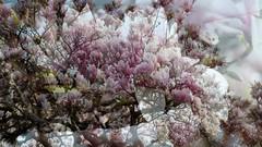 Magnolie (Evi Lesener) Tags: magnolia magnolie baum pflanze natur rosa mehrfachbelichtung