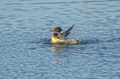 Red-breasted Merganser (MerlinCD) Tags: redbreasted merganser water bird duck