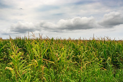 Corn (Atomic Eye) Tags: md maryland corn field green storm clouds cloudy overcast nature eastershore maize grain kernel us usa vegetation fern landscape