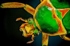 Justo pasaba por aquí... (pepoexpress - A few million thanks!) Tags: nikon nikond600 mitutoyomplanapo2x mitutoyo d600 stacking stackshot apilamientodefoco nature naturaleza insecto zerene macro macroextremo macro2x