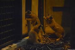 Bébés caracals (Johanna Viala) Tags: caracal