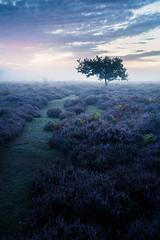 Roydon Common 03/09/2016 (Matthew Dartford) Tags: atmosphere bokeh cold fog glow lonetree mist purple roydoncommon heath east anglia
