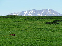 brown bear in the grasslands at cape kambal'nyy, kamchatka 3 (Russell Scott Images) Tags: cape mys kambal'nyy kamchatkapeninsula russianfareast russia kamchatkabrownbearursusarctossspberingianus cub