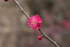 Plum (Ichigo Miyama) Tags: ウメ plum 梅 prunusmume バラ科 rosaceae サクラ属 prunus 春 spring flower plant